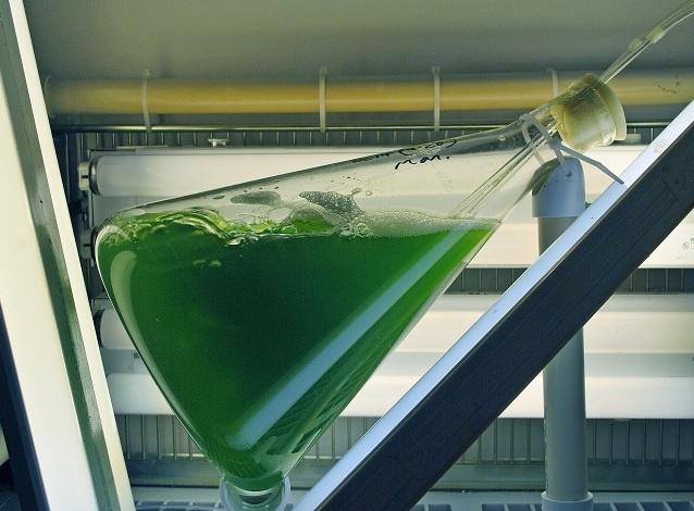 alga used for chronic tests