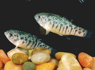saltwater fish used in acute and chronic testing