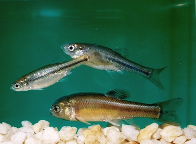 freshwater fish used for acute and chronic testing